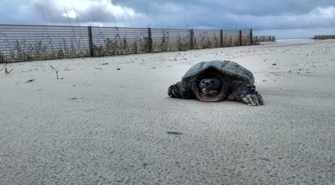 Snapping Turtles like to hang out on the beach too!